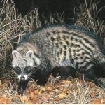 Sibet, Civet